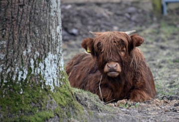 Highland Cow travel Scotland